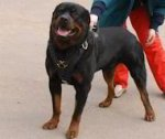 Rottweiler Exclusive Leather Harness-Easy Walk Worthy Durable Dog Harness