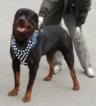 De Luxe Spiked Leather Rottweiler Harness-Strongest Handmade Walking Dog Harness