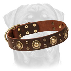 Firm     Leather Rottweiler Collar Decorated with Brass Circles