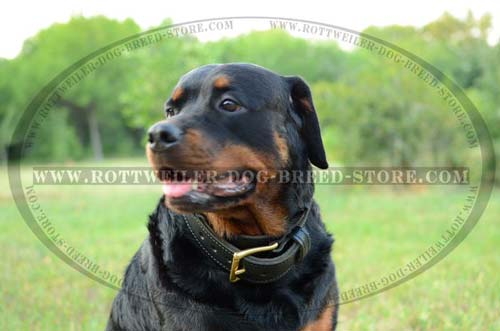 Perfect Leather Buckle Collar for Rottweilers