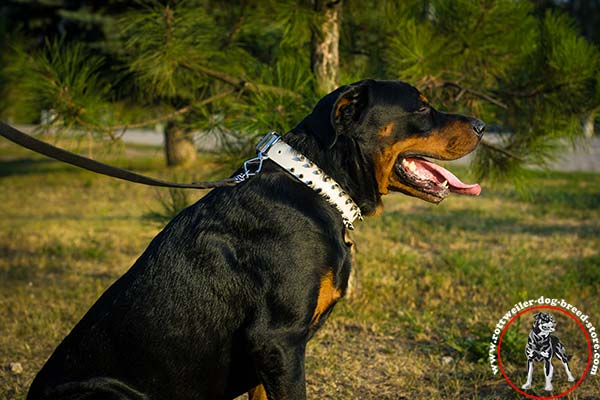 Luxurious spiky Rottweiler white collar
