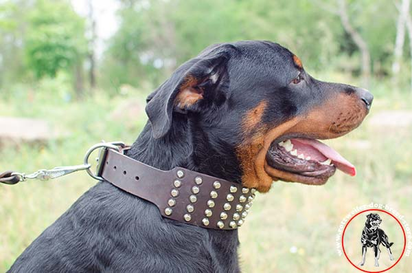 Studded Rottweiler leather collar