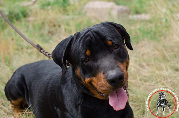 Strong Rottweiler choke collar
