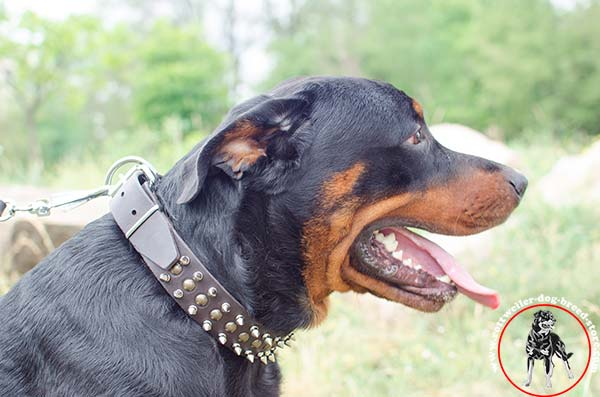 Rottweiler leather collar with handset studs