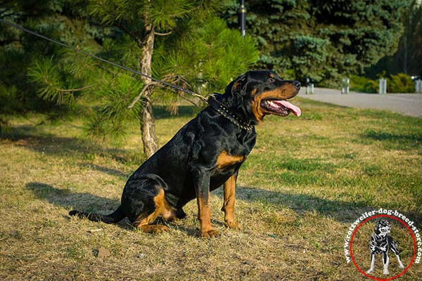 Rottweiler leather collar for utmost comfort