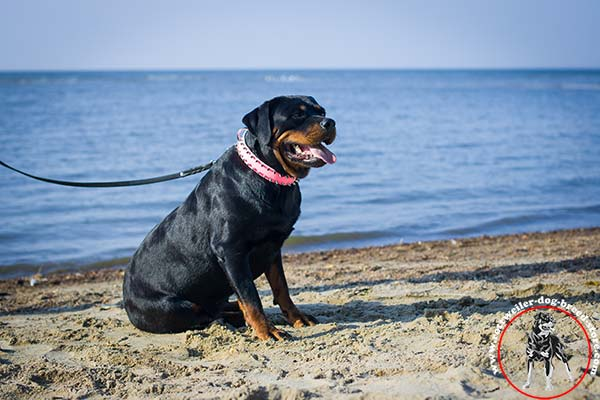Pink Rottweiler collar reliably riveted