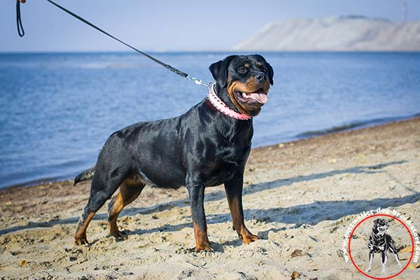 Catchy pink Rottweiler leather collar