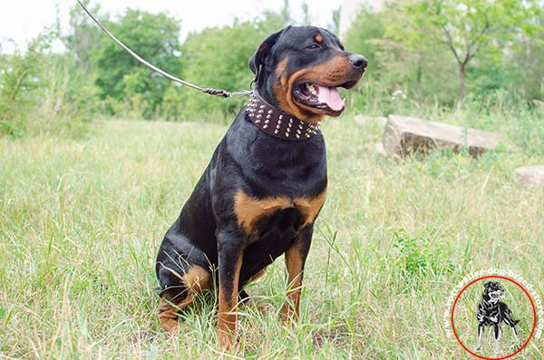 Convenient width Rottweiler leather collar