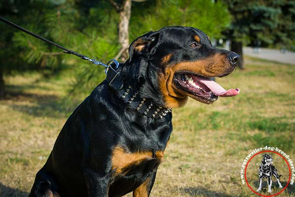 Rottweiler collar with steel nickel-plated decorations