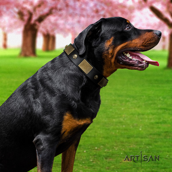 Rottweiler comfy wearing full grain natural leather collar for your handsome dog