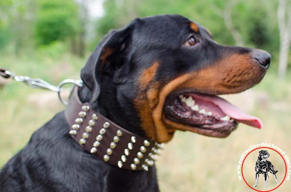 Rottweiler leather collar with multiple spikes