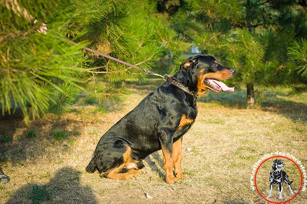 Rottweiler leather collar for stylish walks