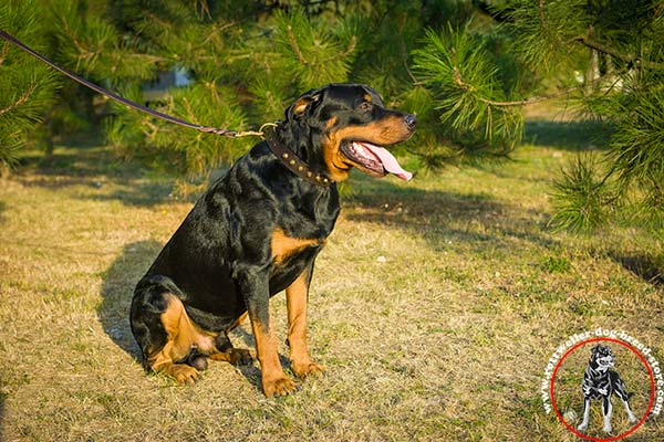 Rottweiler collar made of genuine leather