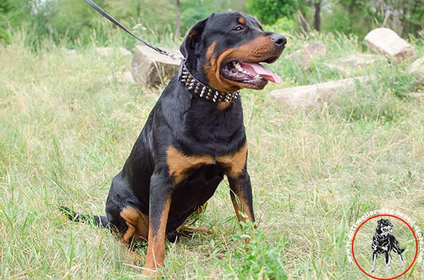 Rottweiler leather collar with 3 rows of decorations