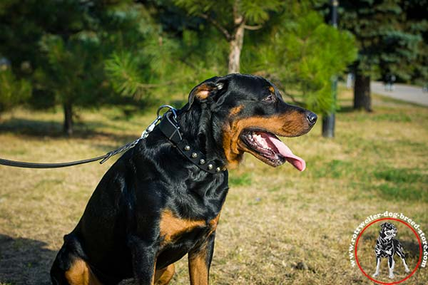 Rottweiler leather collar with reliable fittings