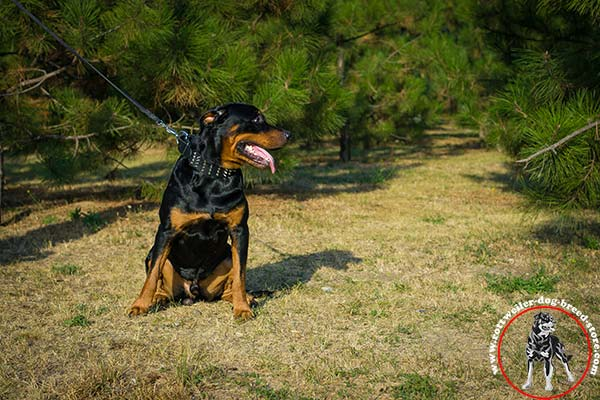 Rottweiler collar for perfect control