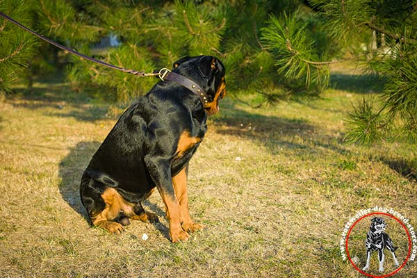 Rottweiler leather collar with nickel plated buckle and D-ring