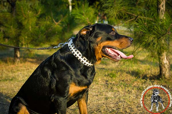 Fascinating Rottweiler collar of white color