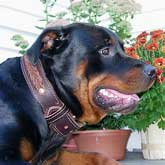 Leather Rottweiler dog collar