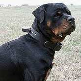 Custom leather training dog collar with handle for Rottweiler