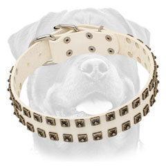 White leather Rottweiler collar with studs