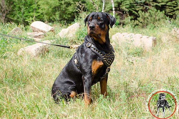 Rottweiler leather harness with golden-like spikes
