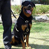 Harness made to fit Rottweiler