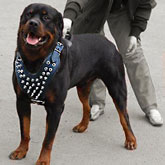 Custom Rottweiler spiked harness