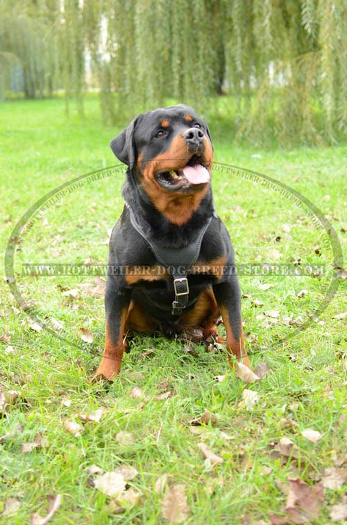 Dog Leather Harness Fashion for Showing Rottweiler Off