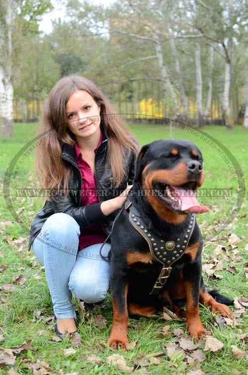 Extremely Beautiful Rottweiler Harness Fully Leather with Studs