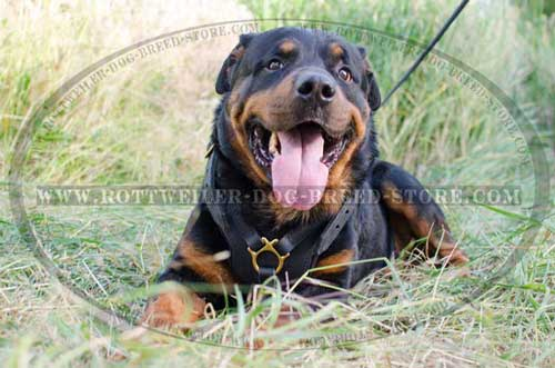 Shock Absorbing Leather Custom Rottweiler Harness with Inside Padding