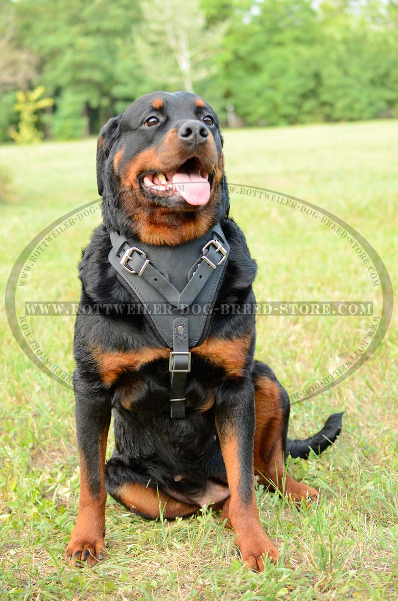 Padded Leather Dog Harness Rottweiler Attack Agitation