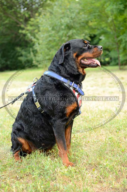 Dog Harness Leather Very Fashion for Rottweiler's Showy Walks