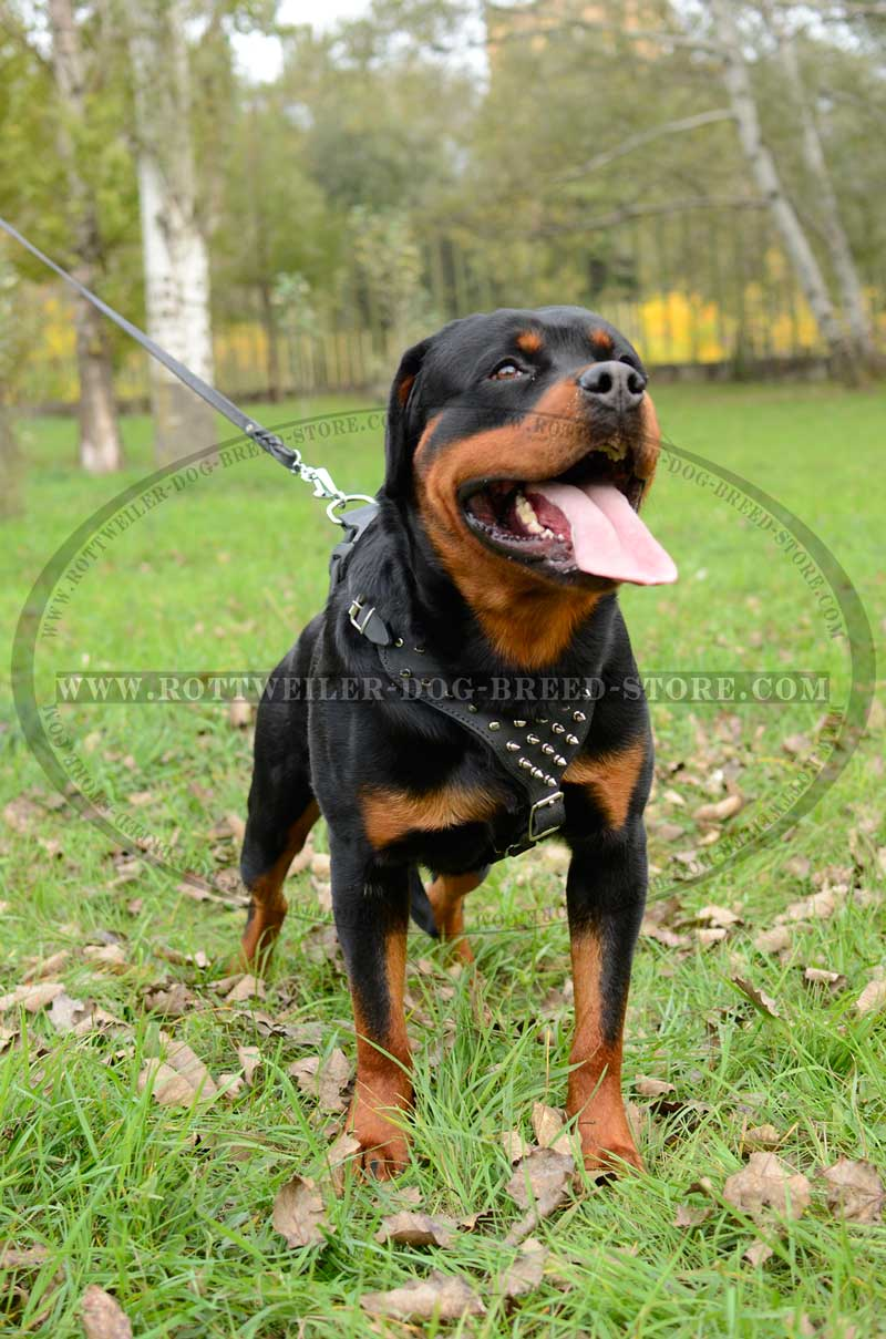 de luxe spiked leather rottweiler harness   strongest handmade walking
