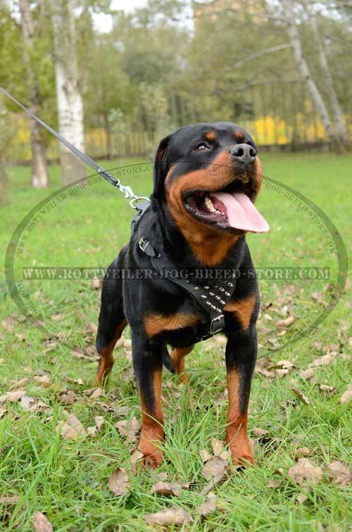 Rottweiler Harness Leather Spiked Fashion