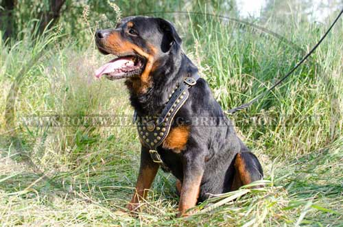 Leather Rottweiler Harness Adorned with Brass Half Ball Studs