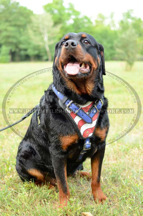 Trendy Leather Rottweier Harness with Stylish Waterproof Illustration