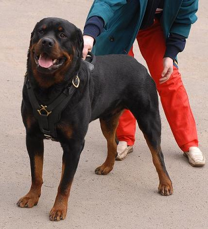 Rottweiler Exclusive Leather Harness-Easy Walk Worthy Durable Dog Harness - Click Image to Close