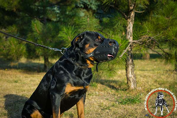 Training Rottweiler leather muzzle