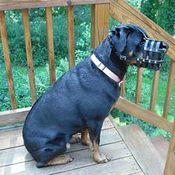 Rottweiler in super ventilated muzzle