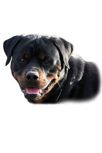 Aricles about your Rottweiler