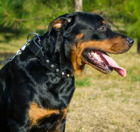 Buying a Rottweiler. How to make the right choice?